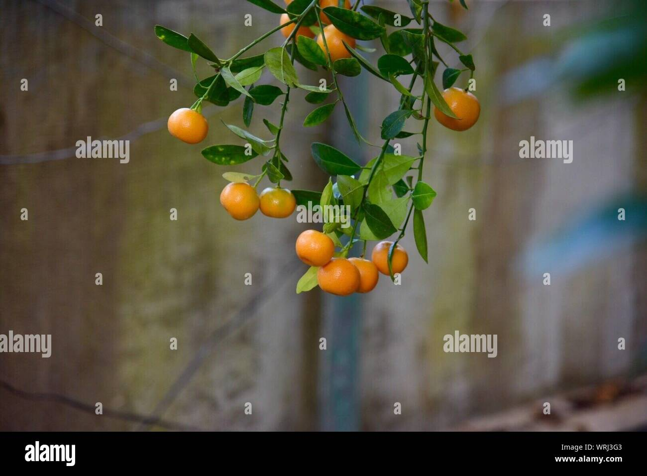 Close-up Of Oranges On Tree Stock Photo