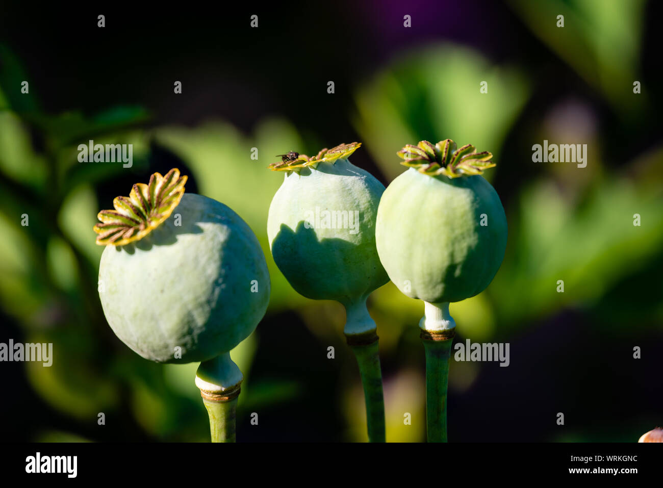 Poppy Seed Pod And Flower Close Up Stock Photo 272722840 Alamy
