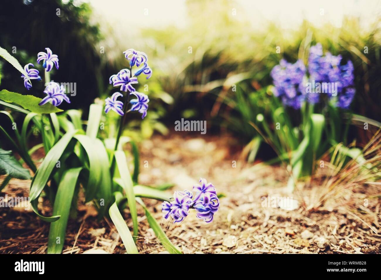 Flowers With Blue Inflorescences Stock Photo