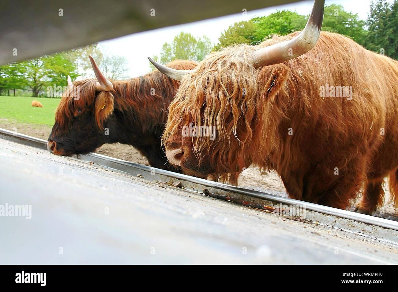 Highland Cattle Feeding At Schwarze Berge Wildlife Park Stock Photo