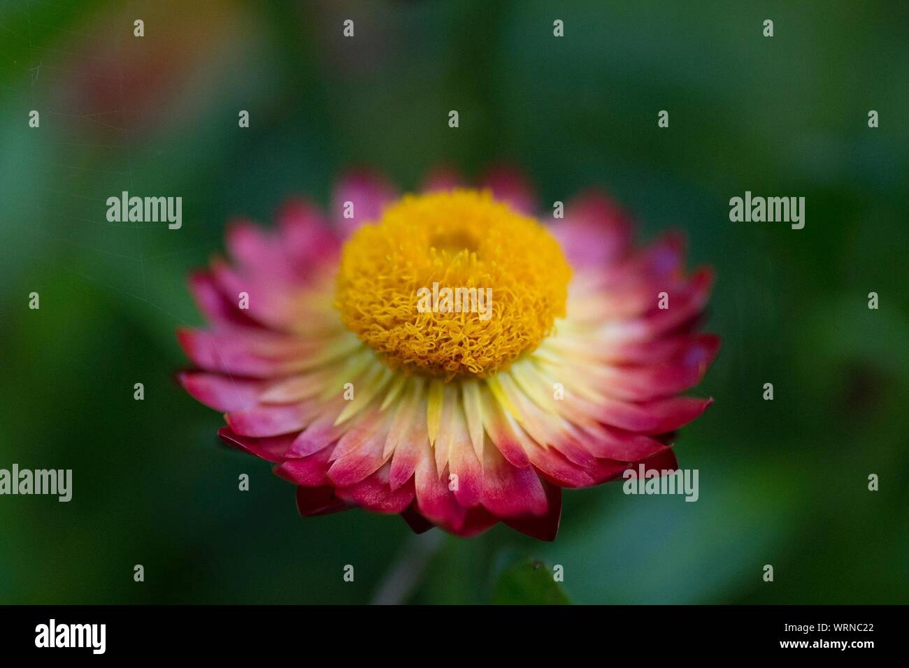 Close-up Of Bicolored Flower Stock Photo