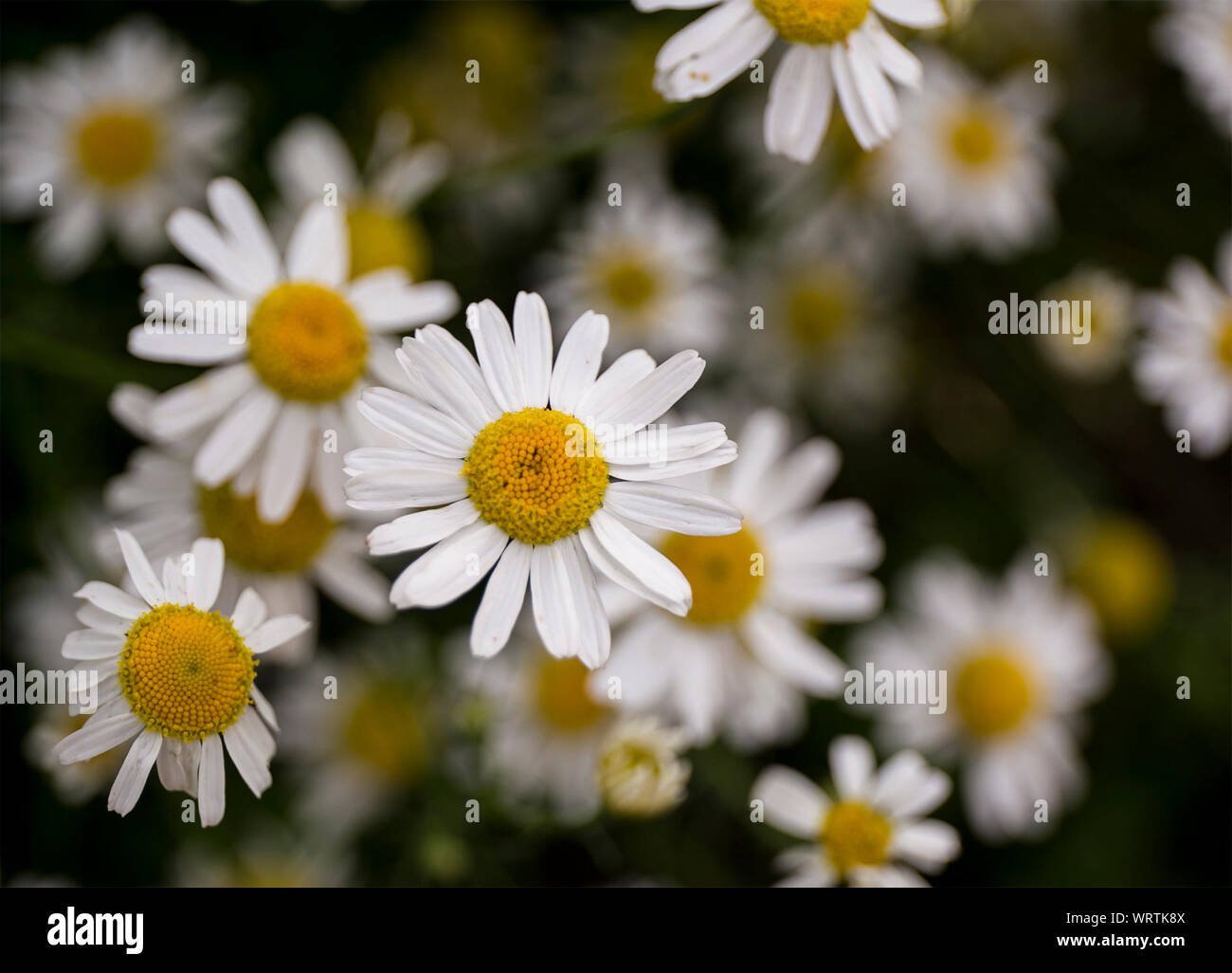 Close-up Of White Flowers Blooming Outdoors Stock Photo