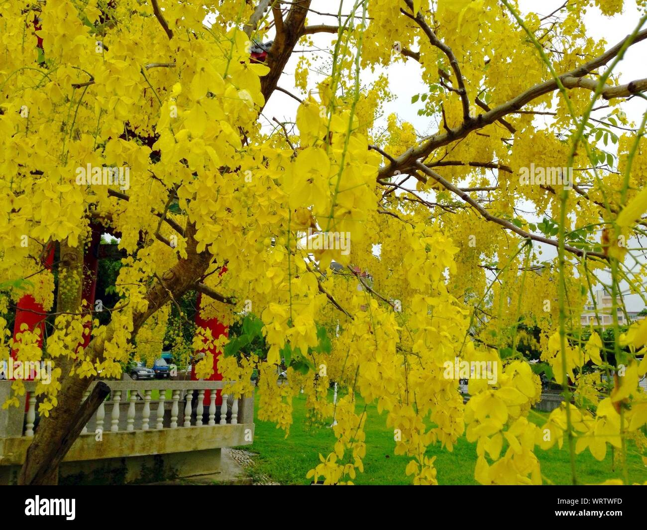 Yellow Flowering Tree High Resolution Stock Photography And Images Alamy
