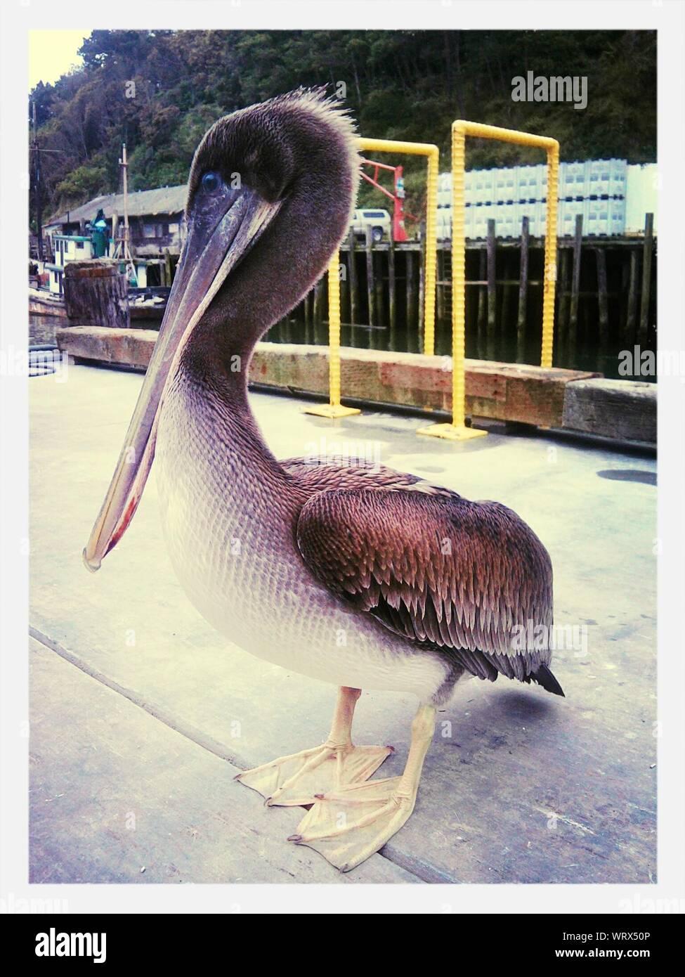Brown Pelican Standing On Pier Stock Photo