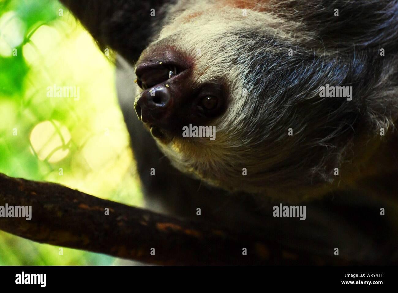 Close-up Of Sloth On Tree Stock Photo