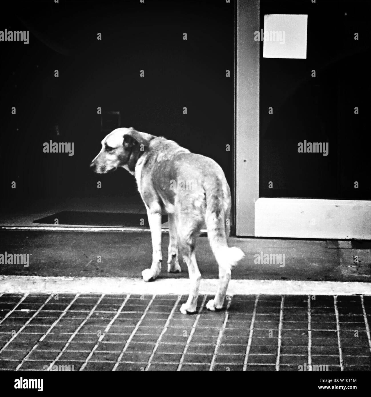 Dog At Front Door Stock Photo