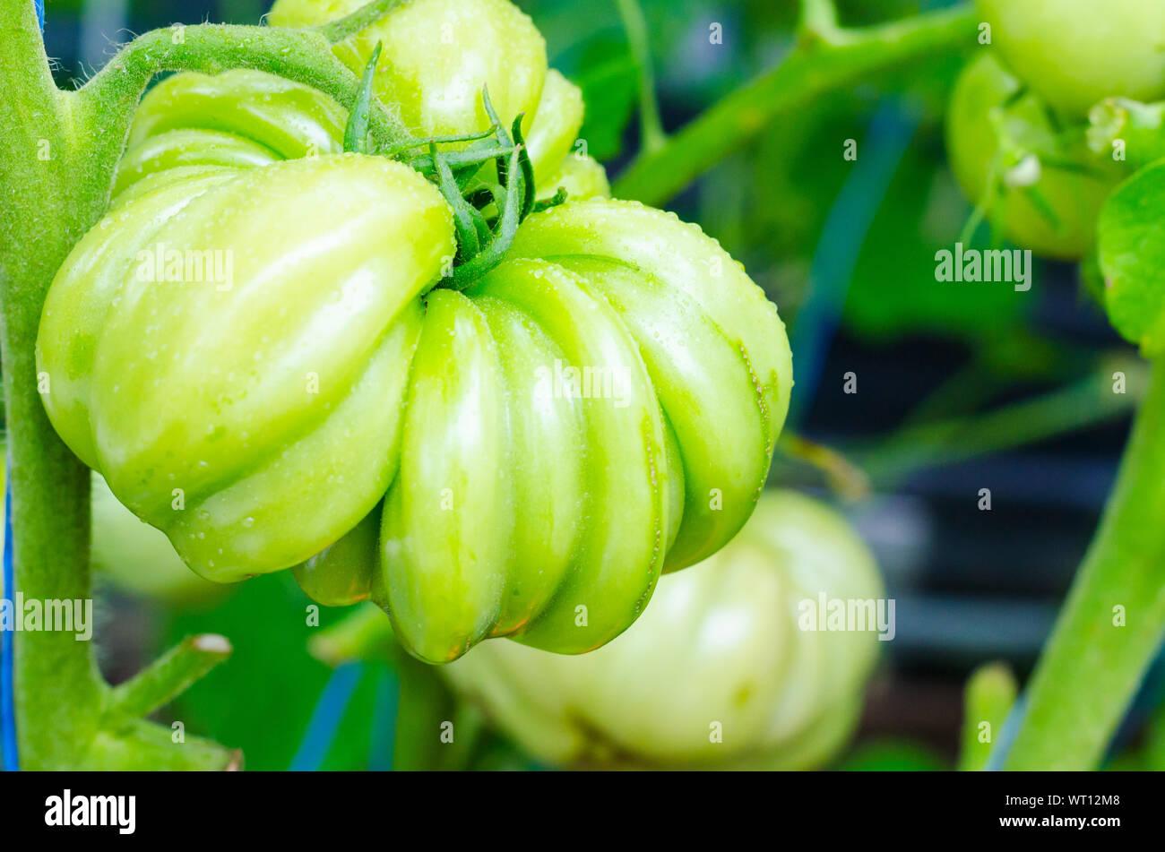Green fruit of an unripe tomato beefsteak on bush. Studio Photo Stock Photo