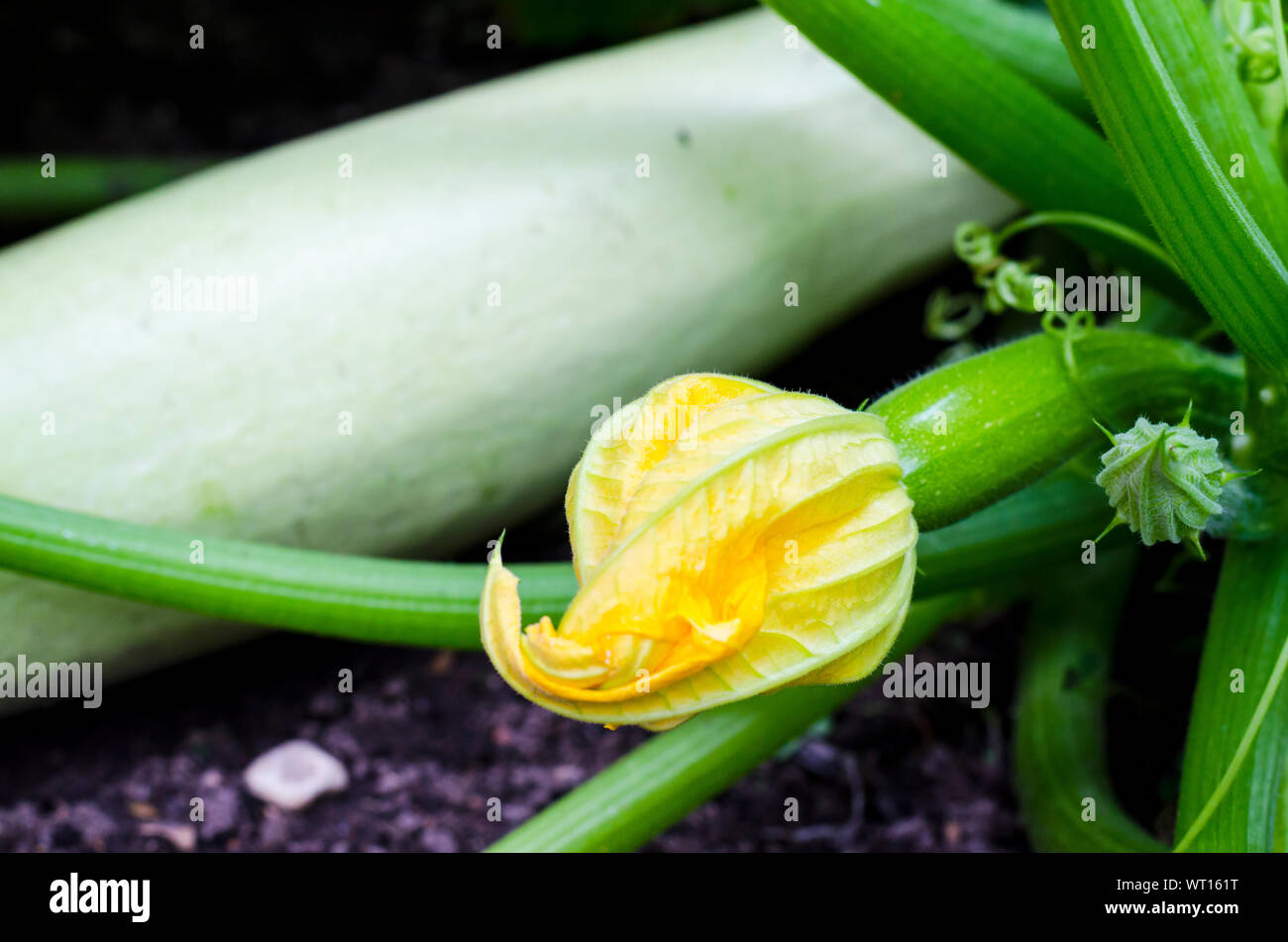Fruit of young zucchini with flower growing on bush. Studio Photo Stock Photo