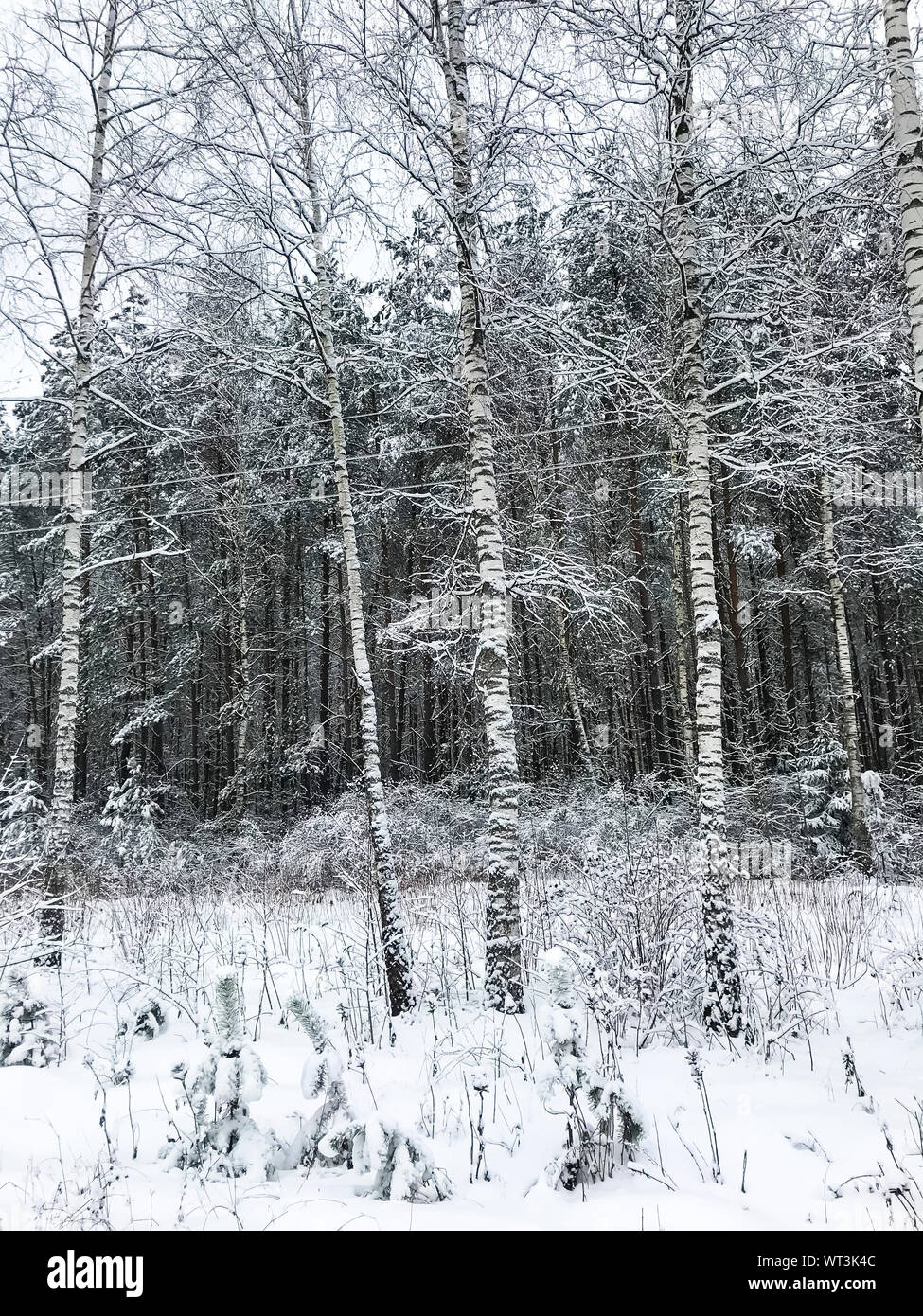 Snow on the branches of trees and shrubs in winter. Stock Photo
