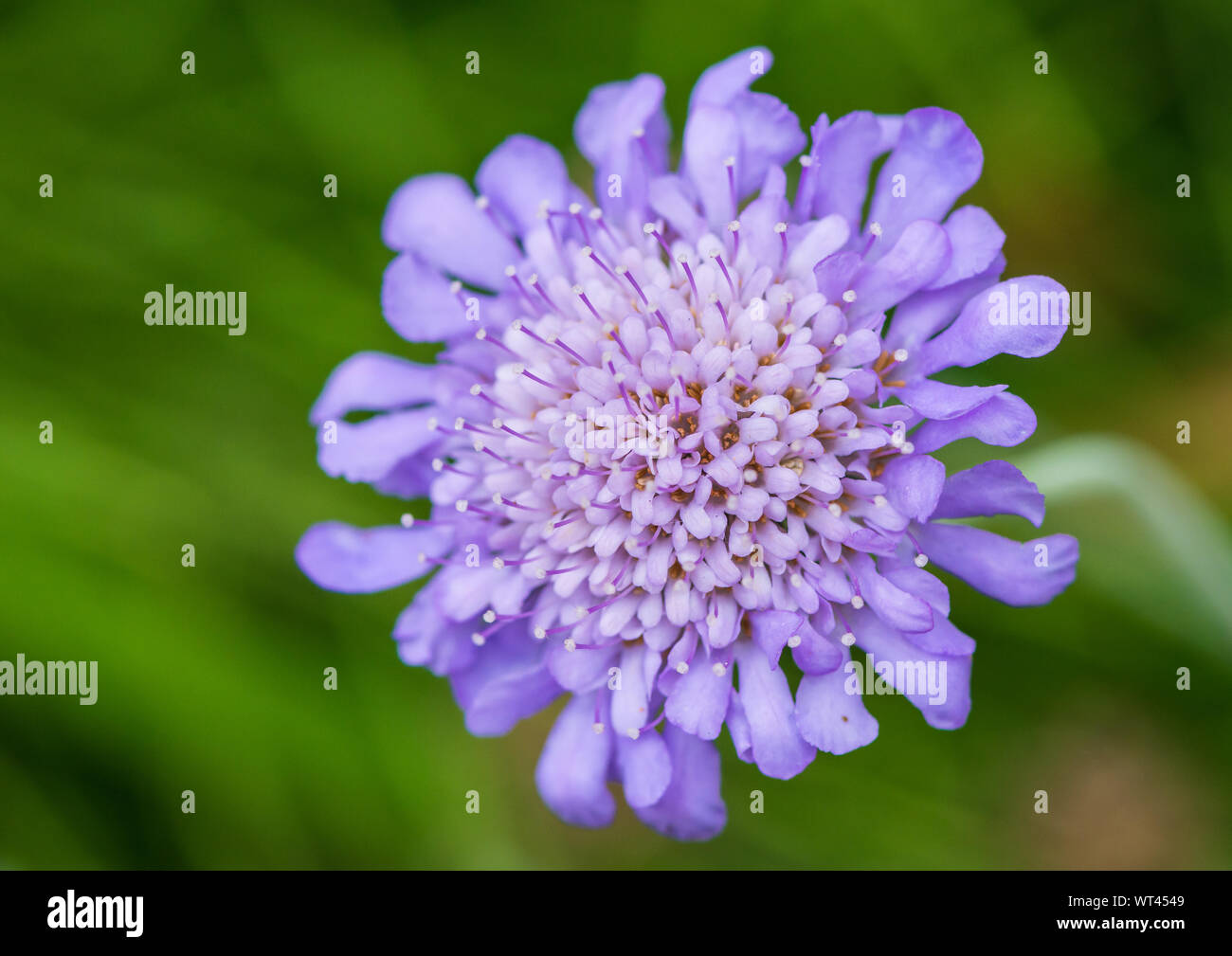 A macro shot of a scabious butterfly blue bloom. Stock Photo