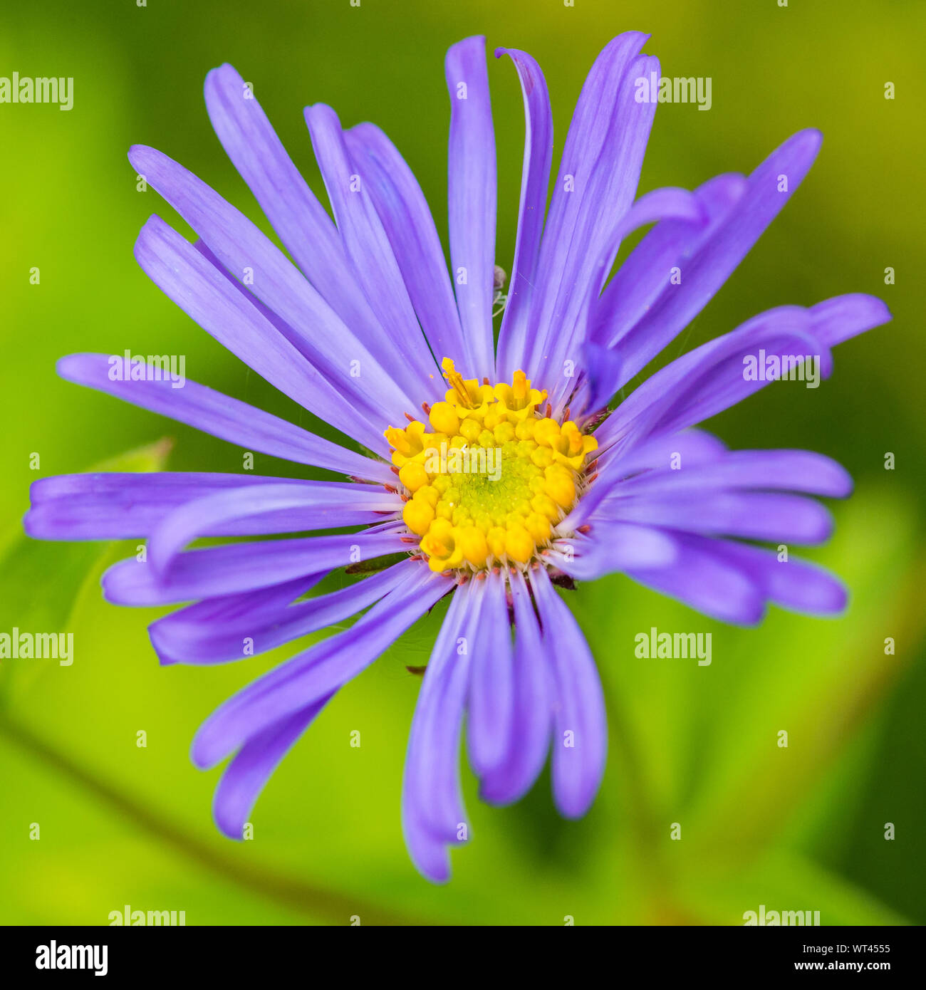 A macro shot of a blue aster frikartii monch bloom with a crab spider hiding between the petals. Stock Photo