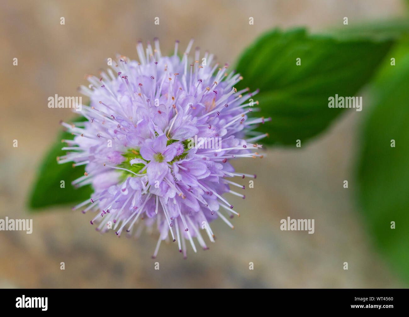A macro shot of a water mint bloom. Stock Photo