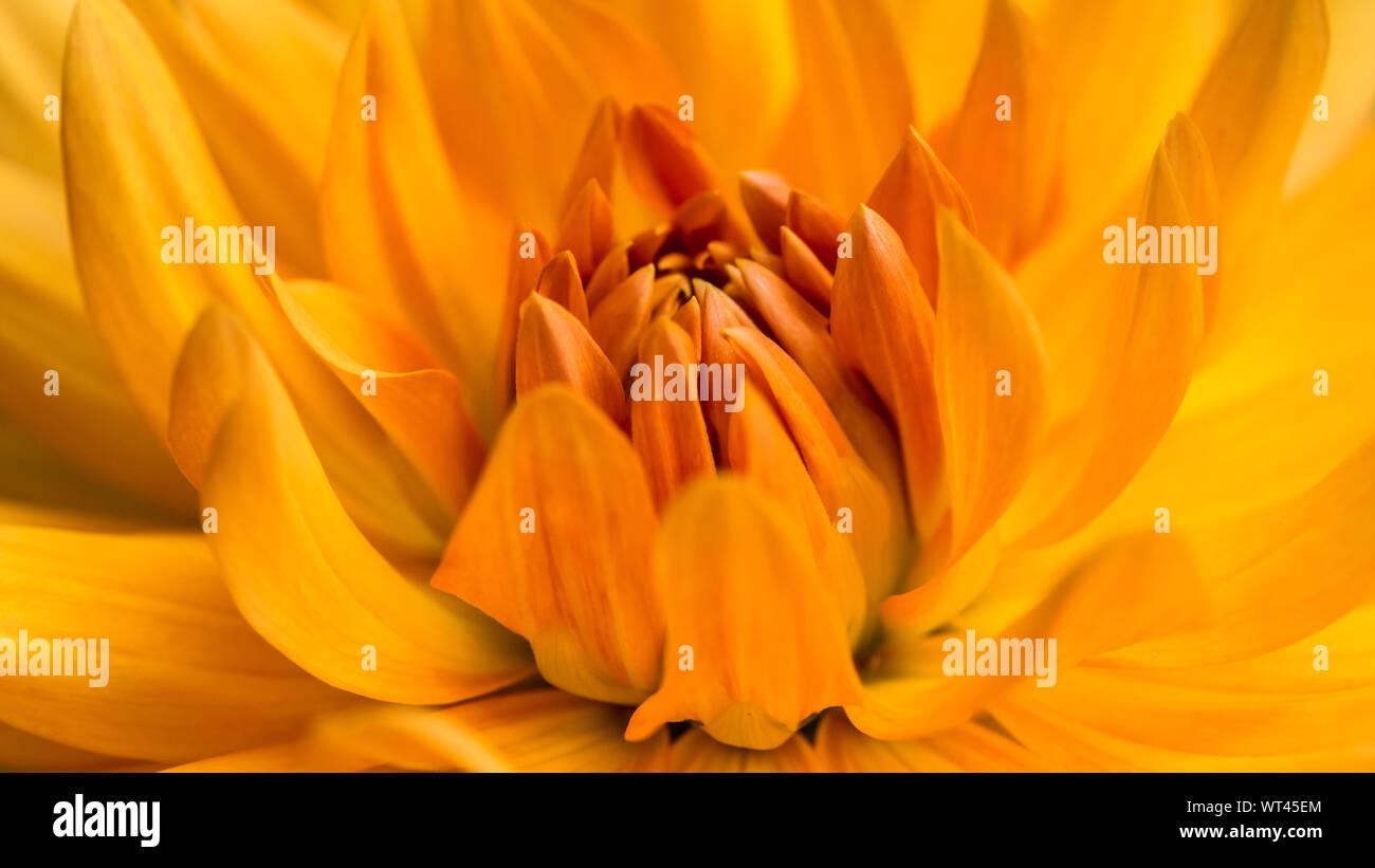 A macro shot of an orange dahlia noordwijks glorie bloom. Stock Photo
