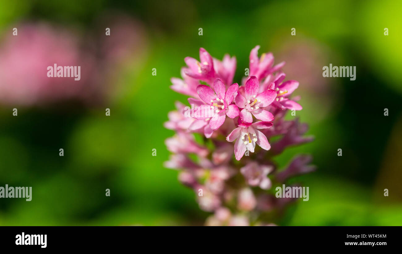 A macro shot of the pink blossom of a flowering currant bush. Stock Photo