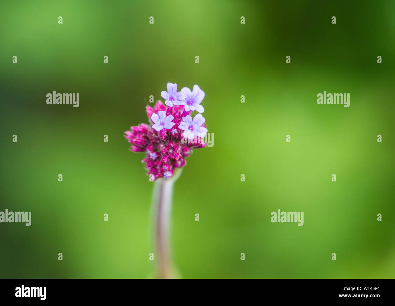 A macro shot of a verbena blooms beginning to blossom. Stock Photo