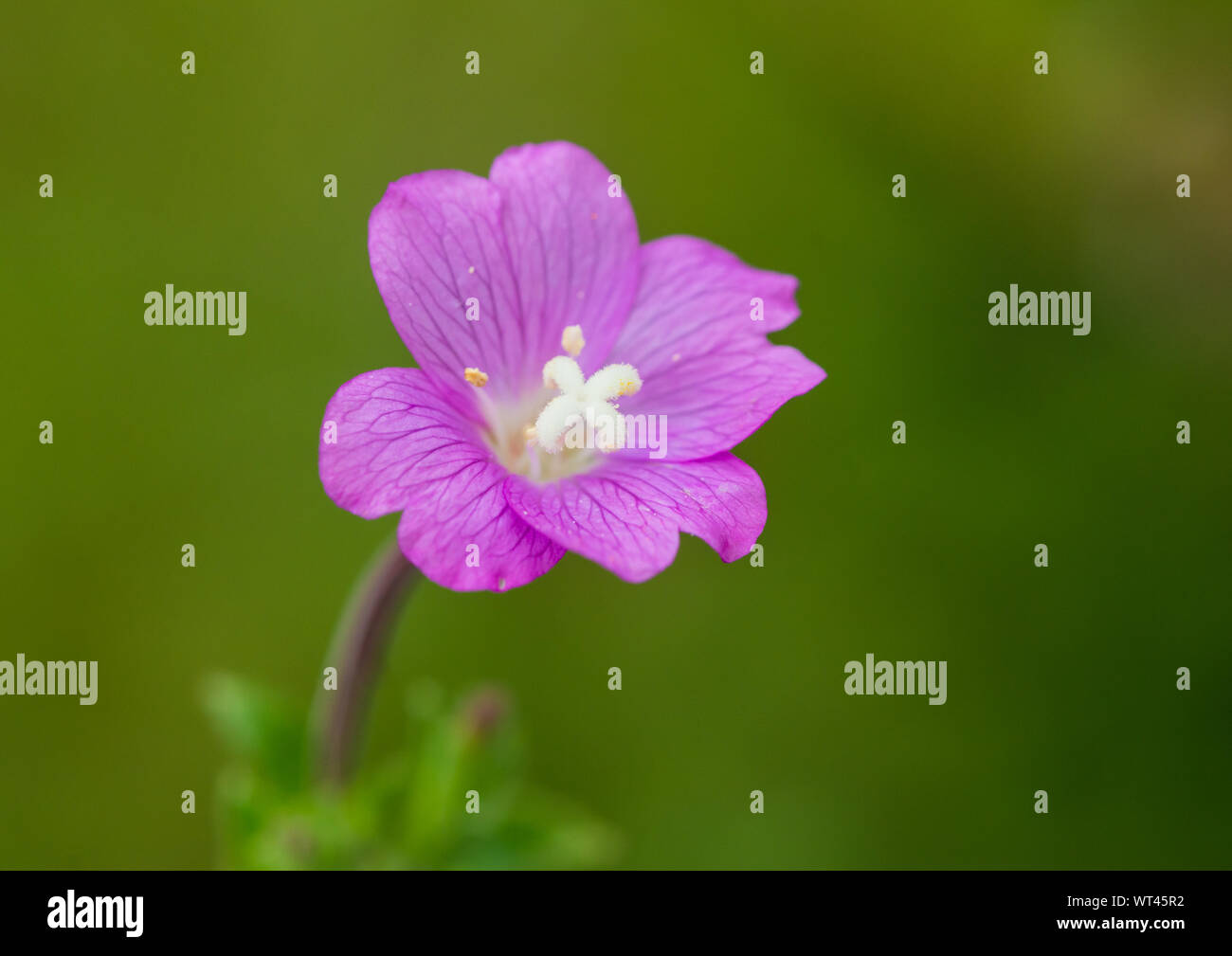 A macro shot of a great willowherb bloom. Stock Photo