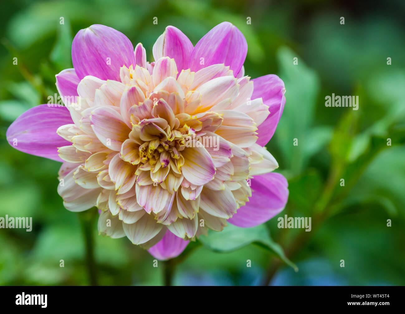 A macro shot of a pink dahlia take off bloom. Stock Photo