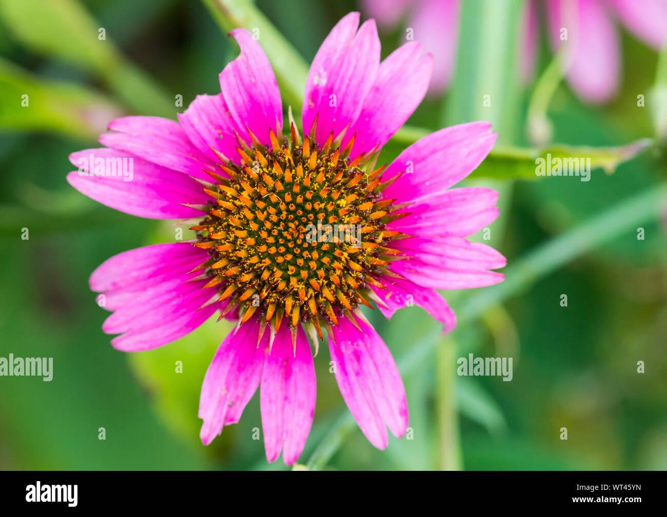 A macro shot of a pink echinacea bloom. Stock Photo