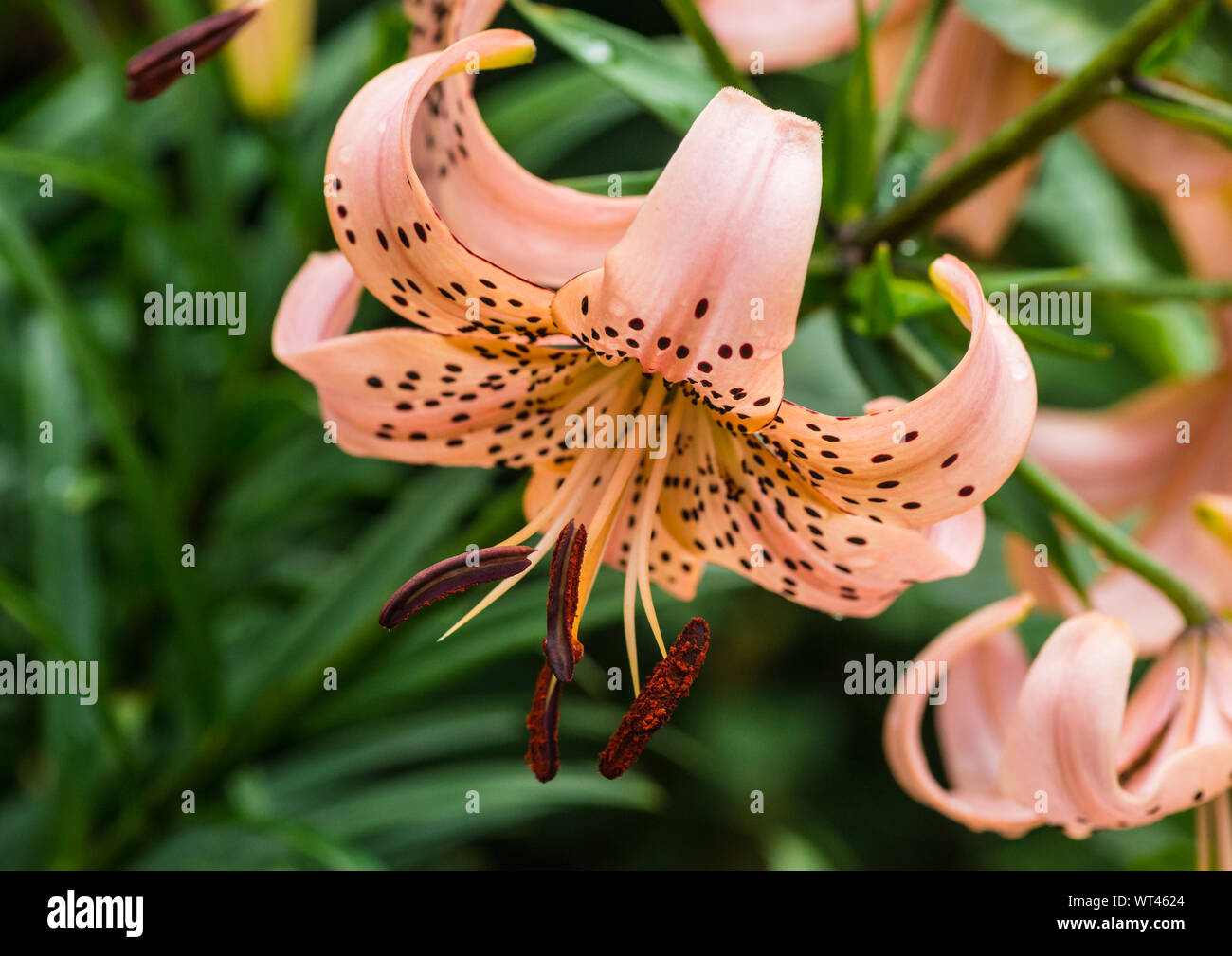 A macro shot of a pink tiger lily bloom. Stock Photo