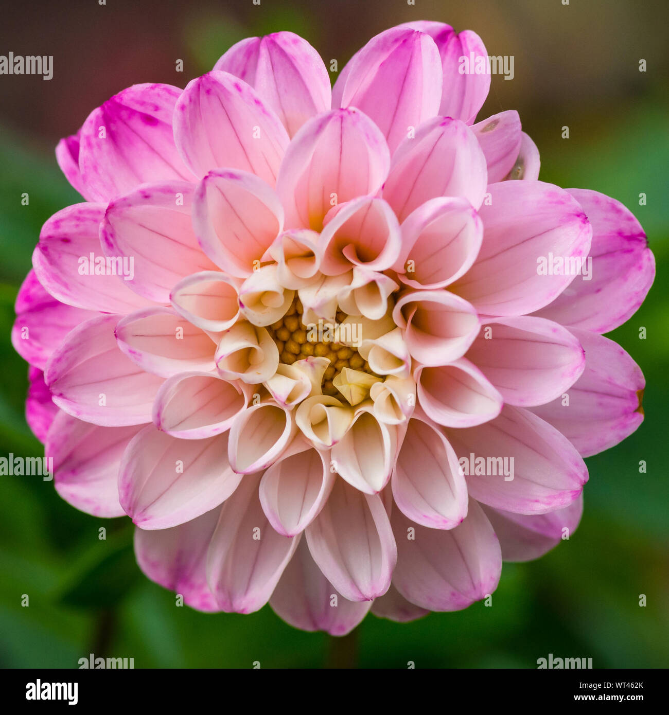 A macro shot of a pink dahlia bloom. Stock Photo