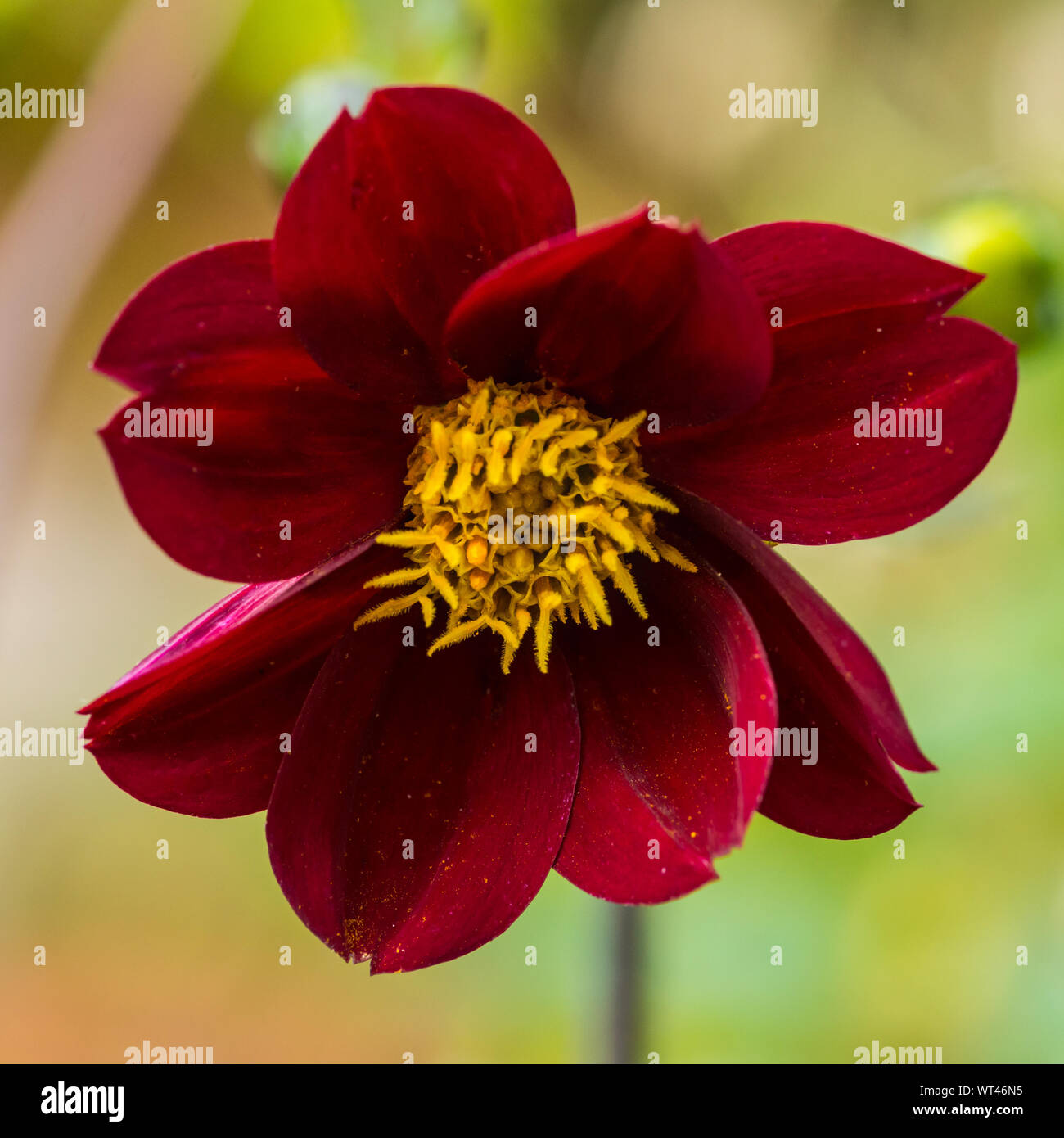 A macro shot of a dahlia mexican star bloom. Stock Photo