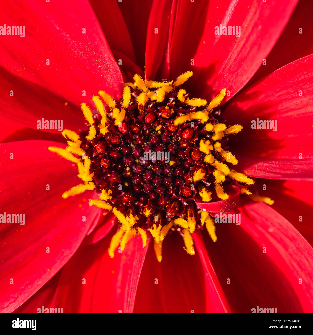A macro shot of a red dahlia called bishop of llandaff. Stock Photo