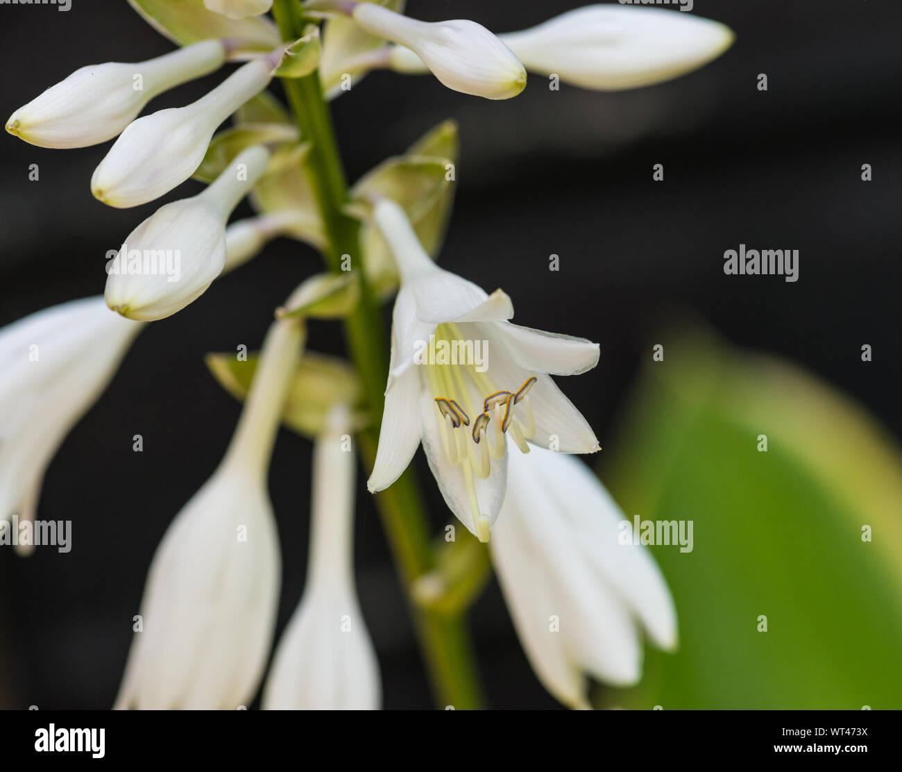 A macro shot of a hosta bloom. Stock Photo