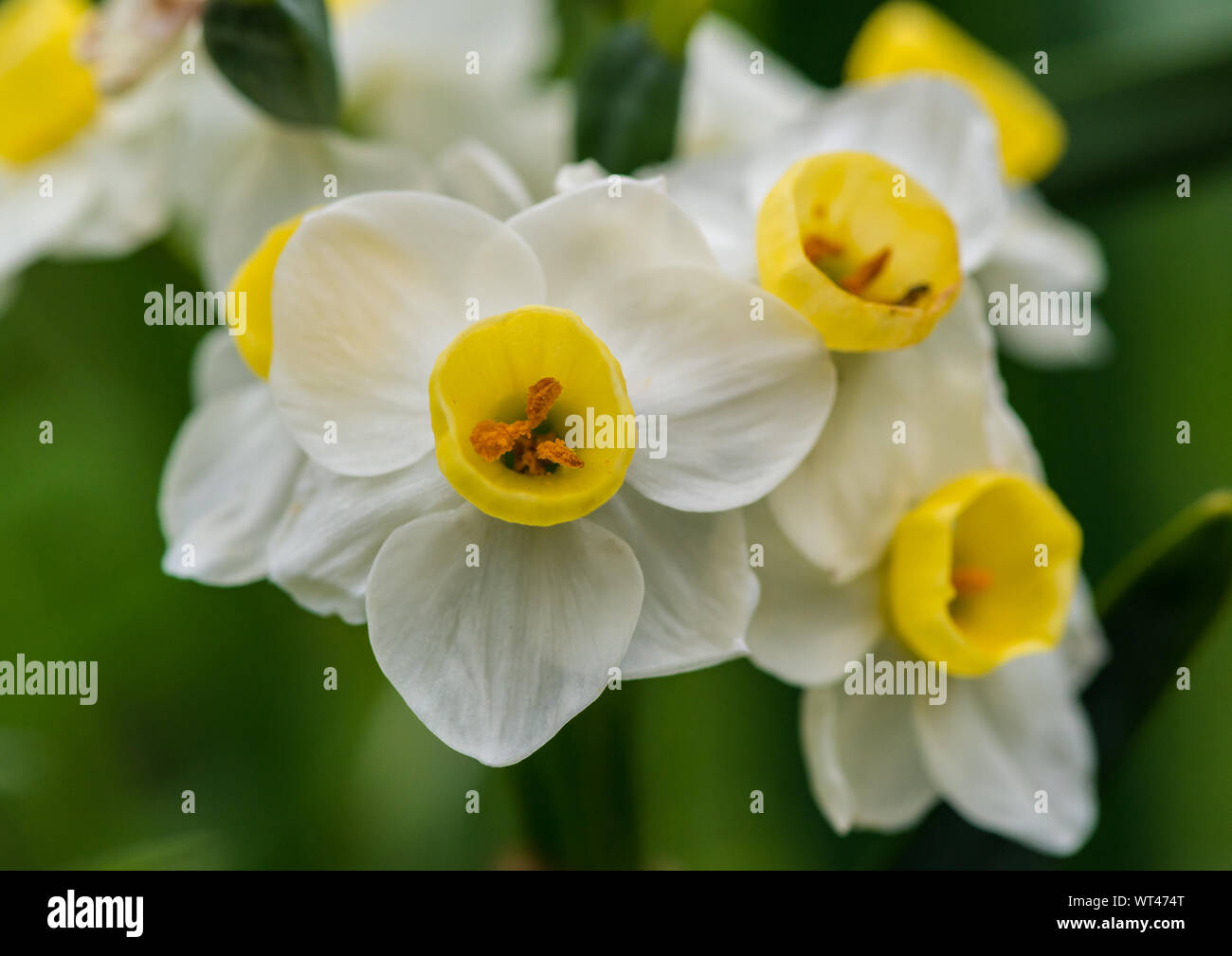 A macro shot of daffodil avalanche blooms. Stock Photo