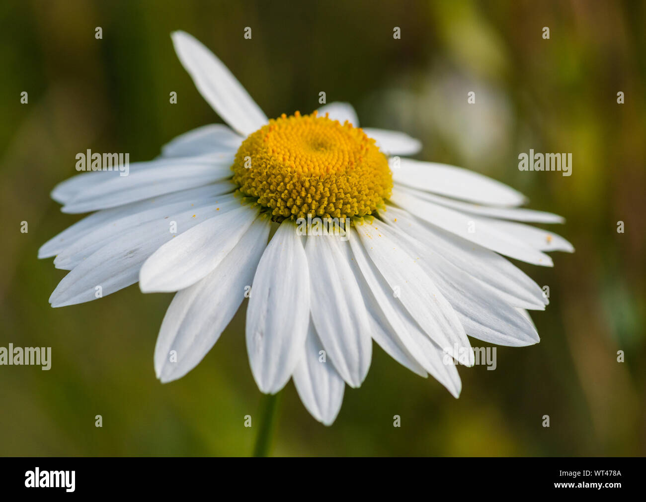 A macro shot of an oxeye daisy bloom. Stock Photo