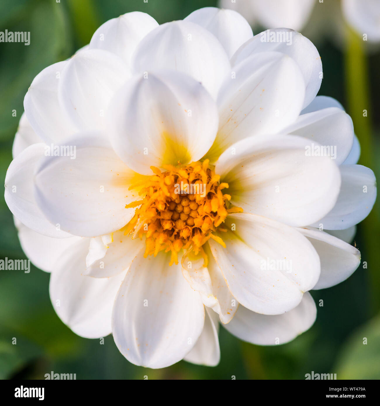 A macro shot of a white dahlia bloom with a yellow centre. Stock Photo
