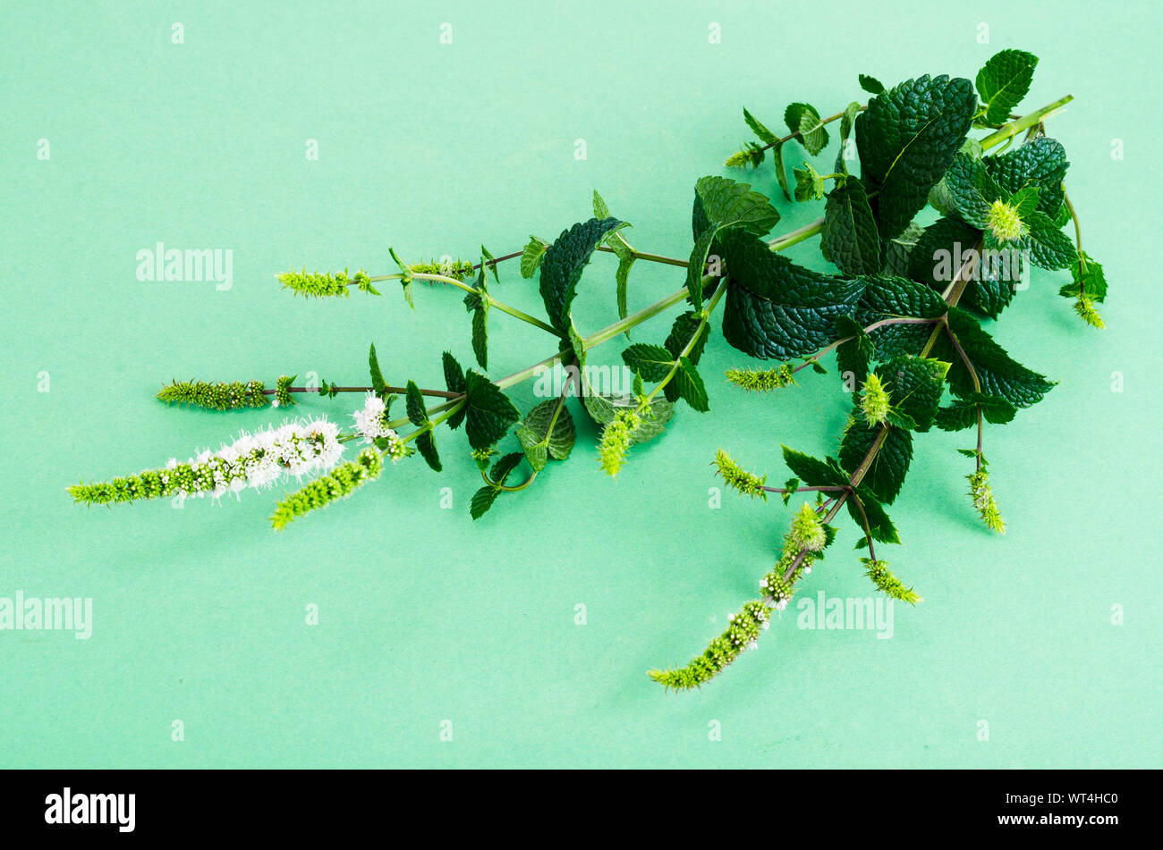 Peppermint. Mint grass with flowers close up. Studio Photo Stock Photo