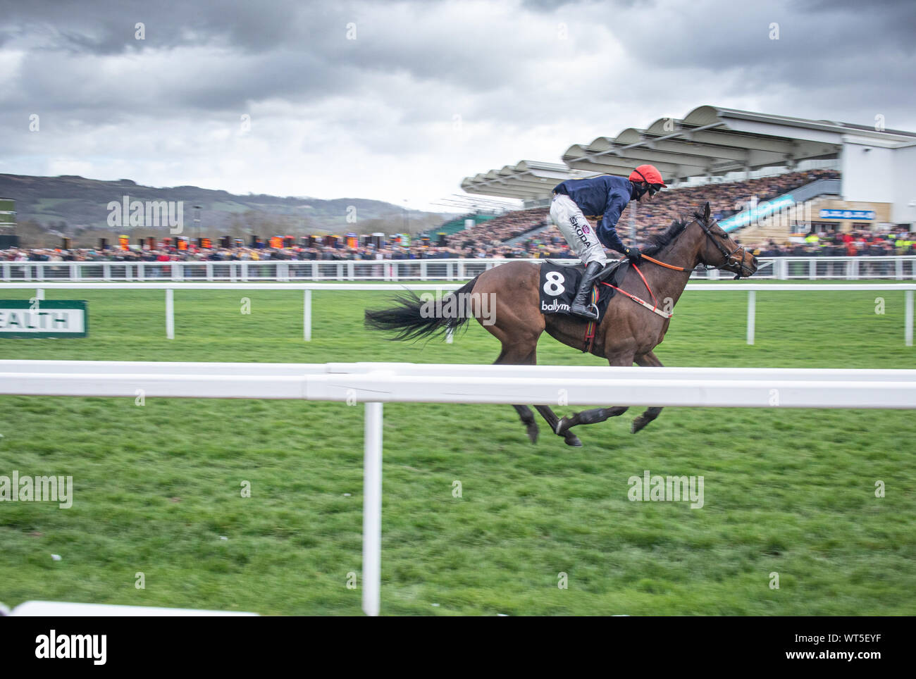 Horses race to the finish line at the Cheltenham festival. The Uk's premier National Hunt race meeting and a mecca for an army of traveling Irish fans Stock Photo