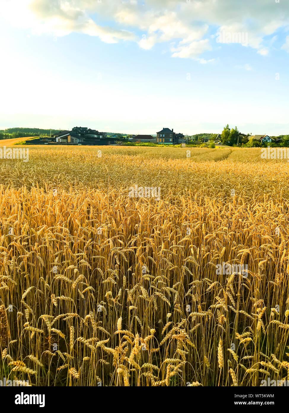 Spikes of rye on field in evening, sun. Studio Photo Stock Photo