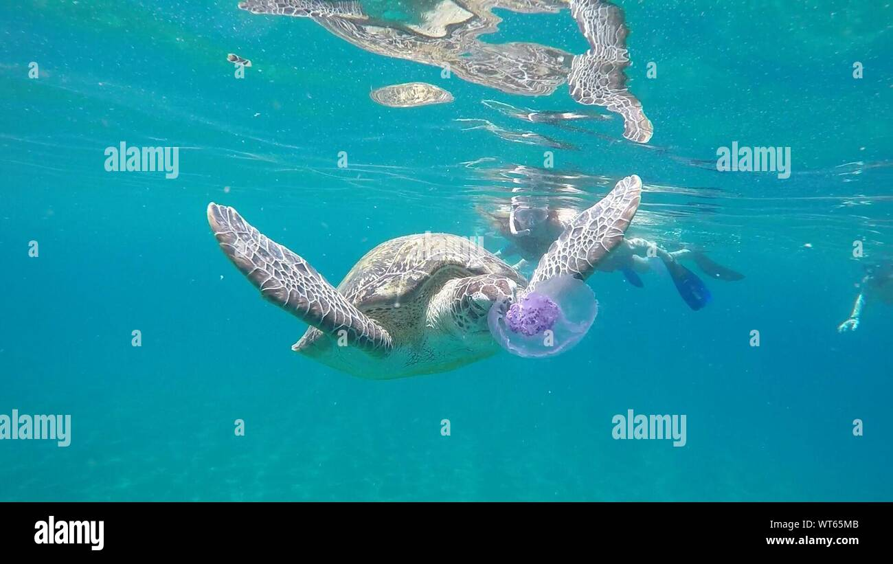 Woman Swimming By Turtle In Swimming Pool Stock Photo ...