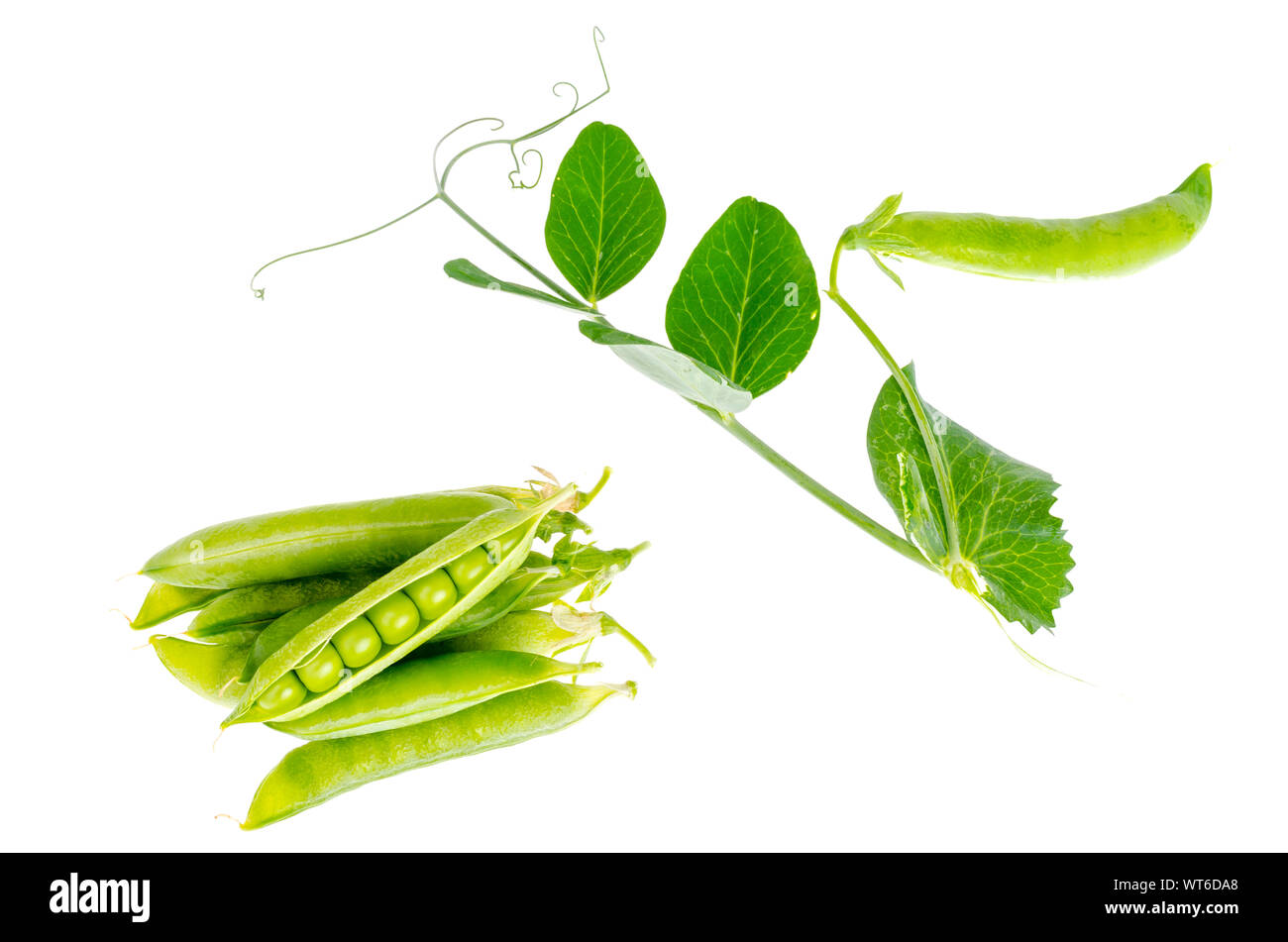 Branch of green peas with leaves and pods. Studio Photo Stock Photo