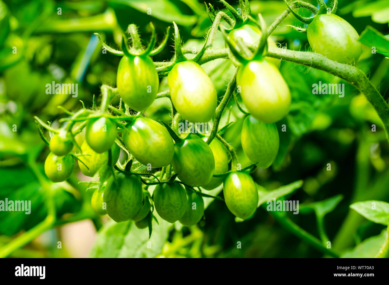 Tomato bushes with green fruits in greenhouse. Studio Photo Stock Photo