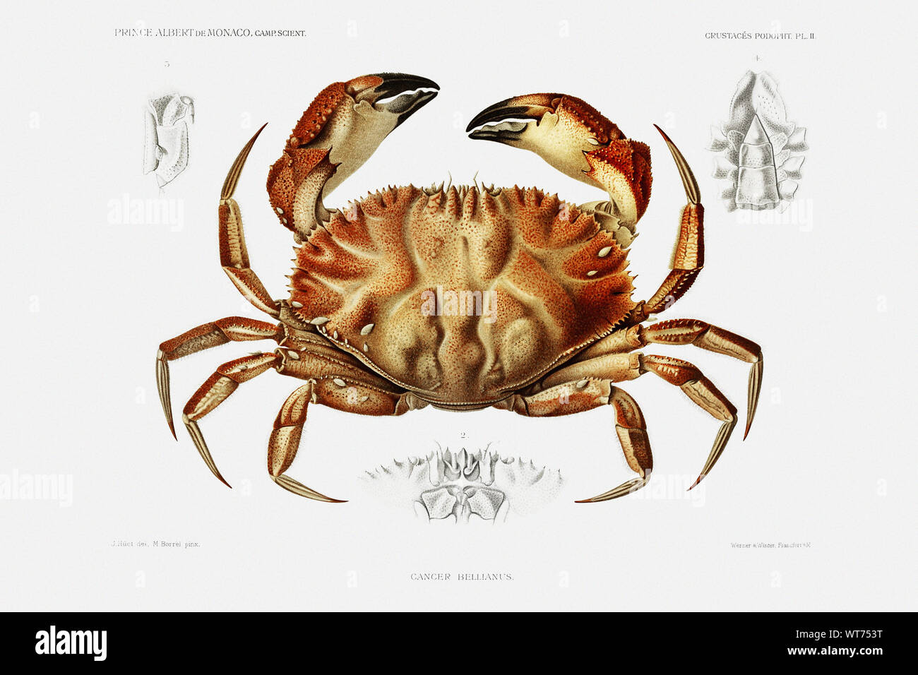 Dungeness Crab Vintage Illustration From Carl Chun Zoological Work Stock Photo Alamy