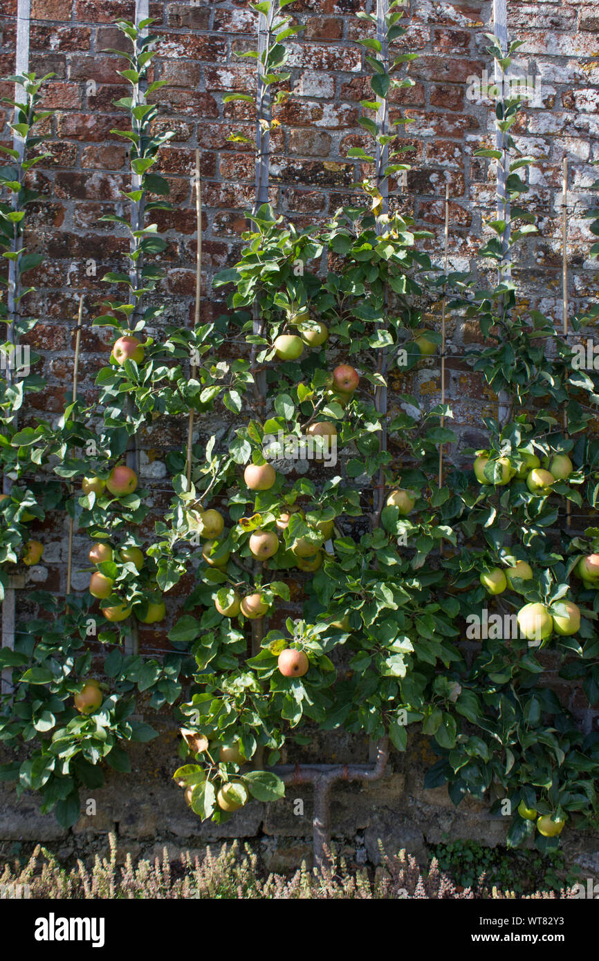 An apple tree being trained to grow out and up using the espalier system. Taken in the summer with apples on the tree Stock Photo