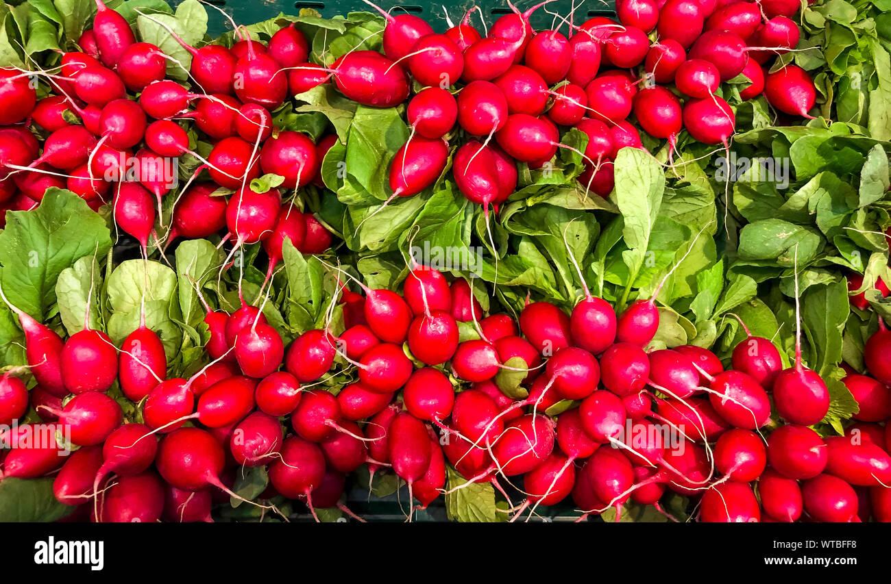 Colorful ripe and juicy fresh red radish. Photo Studio Stock Photo