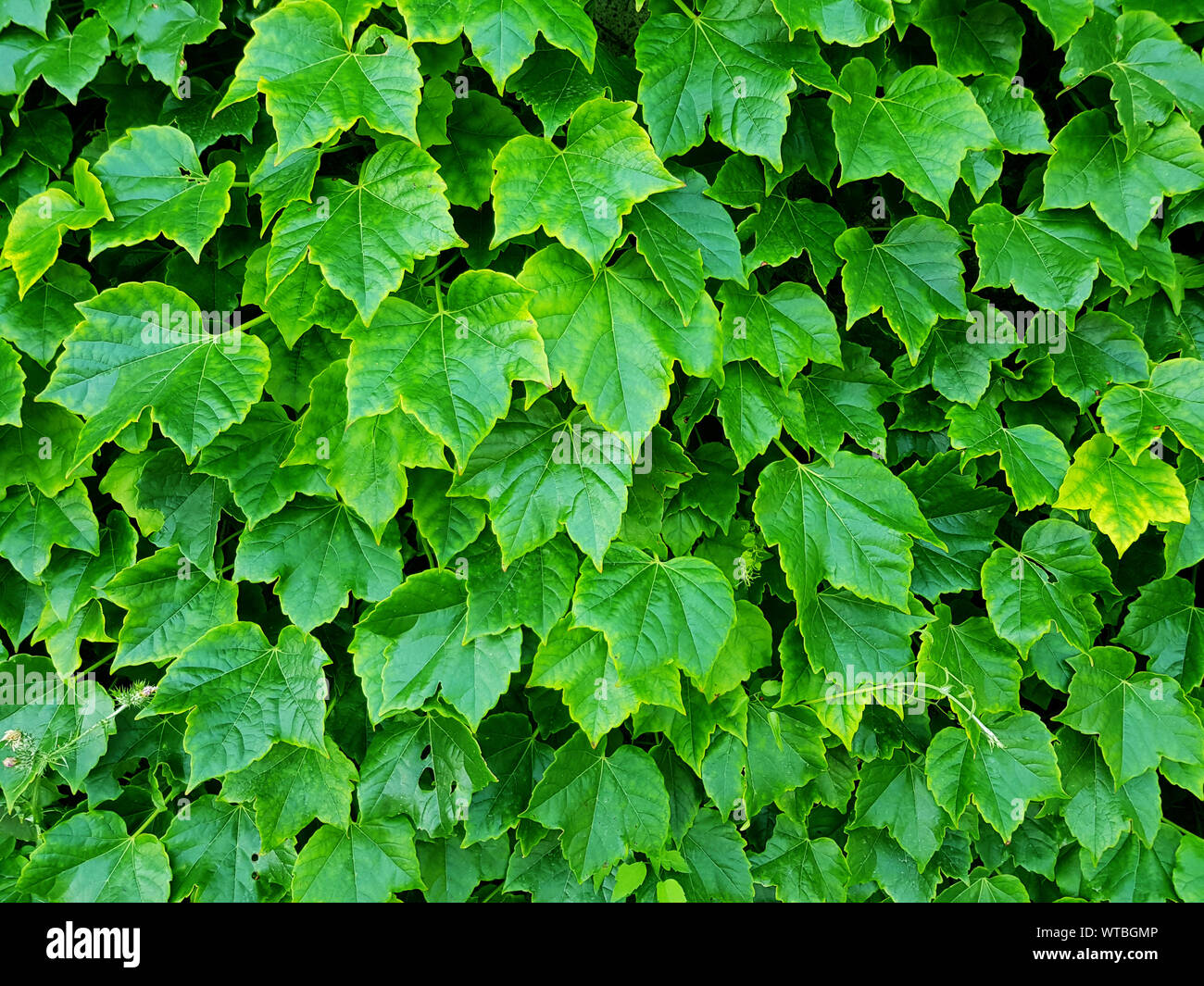 Green plant, Plant wall with lush green color nature background, Natural green leaf wall, Texture background. Stock Photo