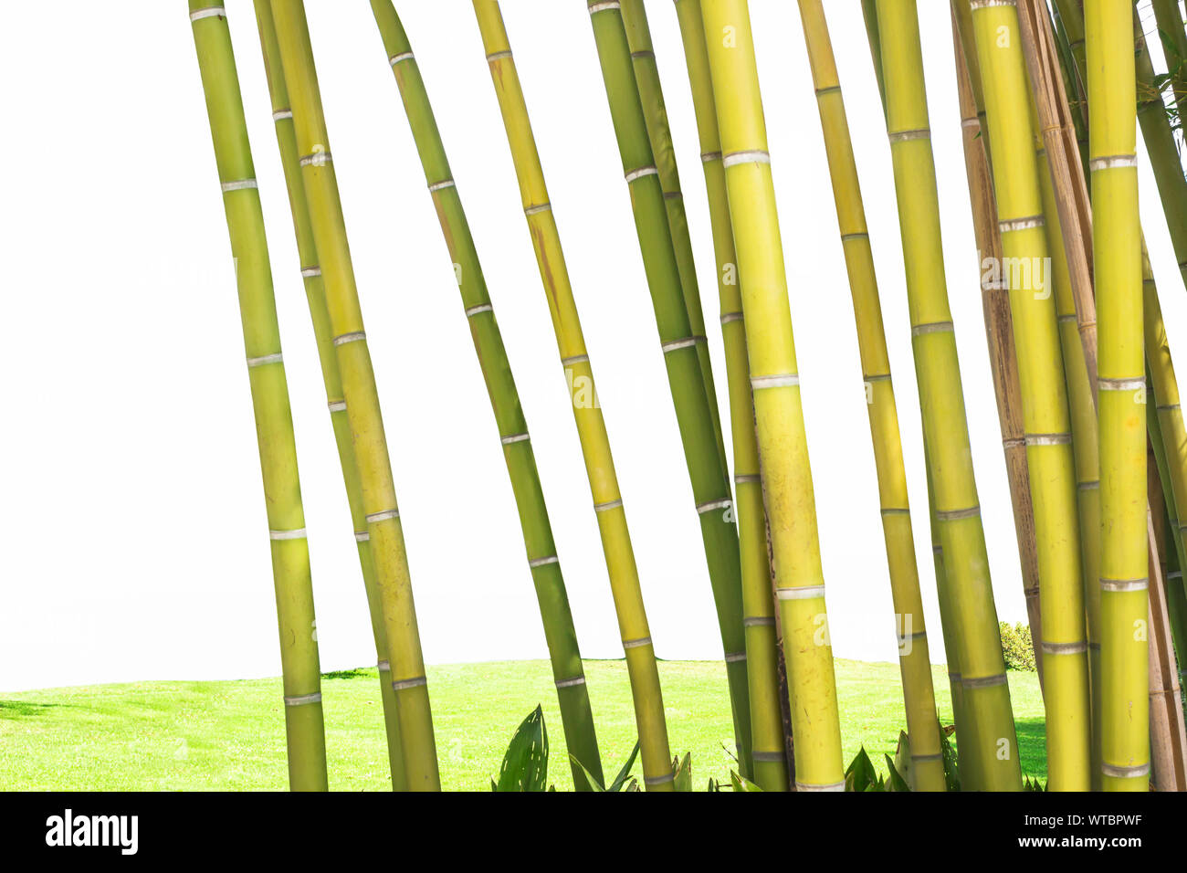 Bamboo branch in bamboo forest, beautiful green and yellow bamboo branch in nature isolated white background. Stock Photo