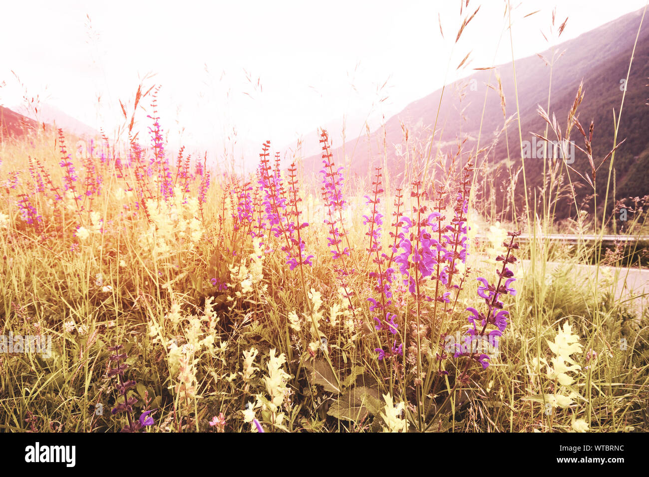 Soft focus, Beautiful flowers with mountain background, Plants dandelions, Retro vintage Instagram style filter effect background. Stock Photo
