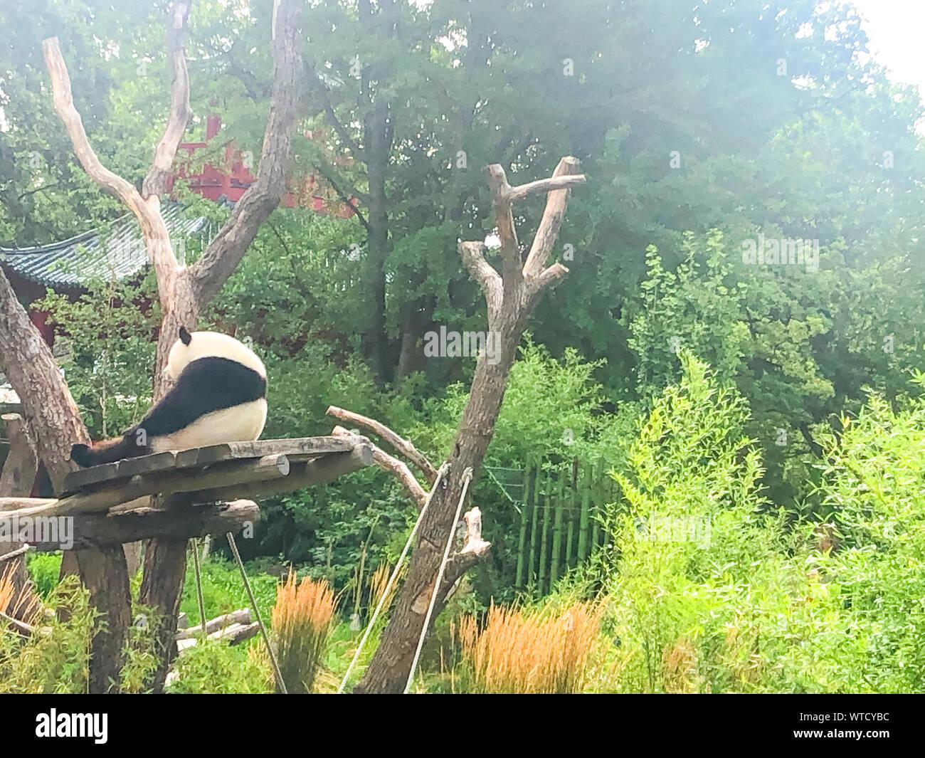Very beautiful and cute panda bear walking in nature. Stock Photo