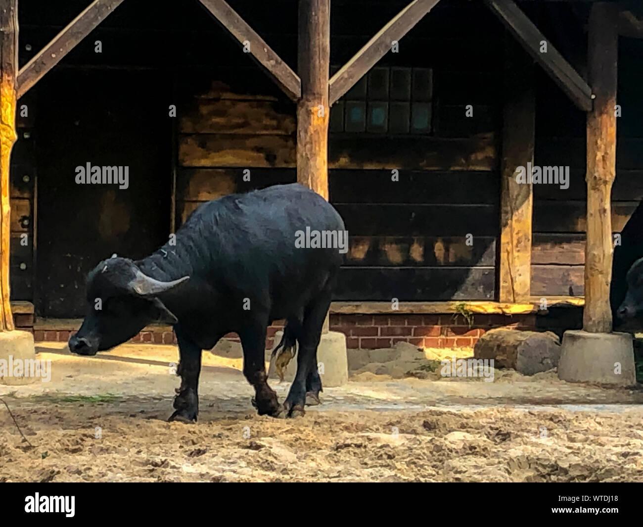 Adult and strong buffalo. Powerful and big animal. Stock Photo