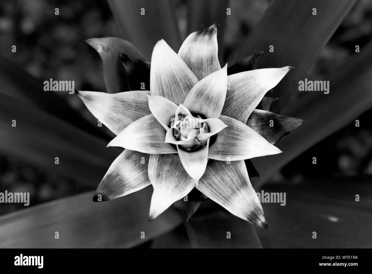 Beautiful big flower with triangular leaves. Black and white contrast photo. Light center with a flower and a dark background. Stock Photo
