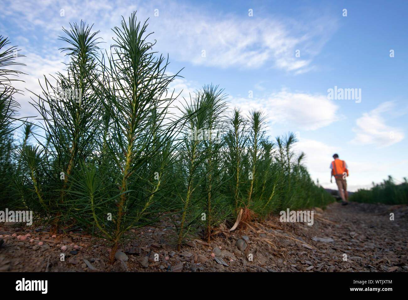 Picture by Tim Cuff - 20 February 2019 - Pine tree seedlings growing arborgen's nursery, Spring Grove, Nelson, New Zealand Stock Photo
