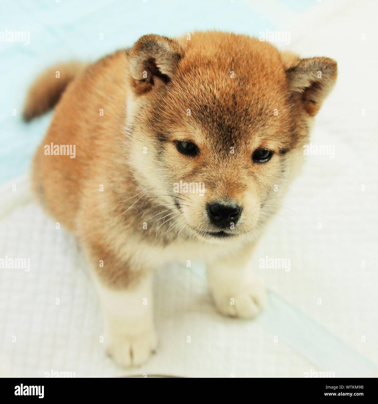 Close Up Of Cute Shiba Inu Puppy Stock Photo Alamy