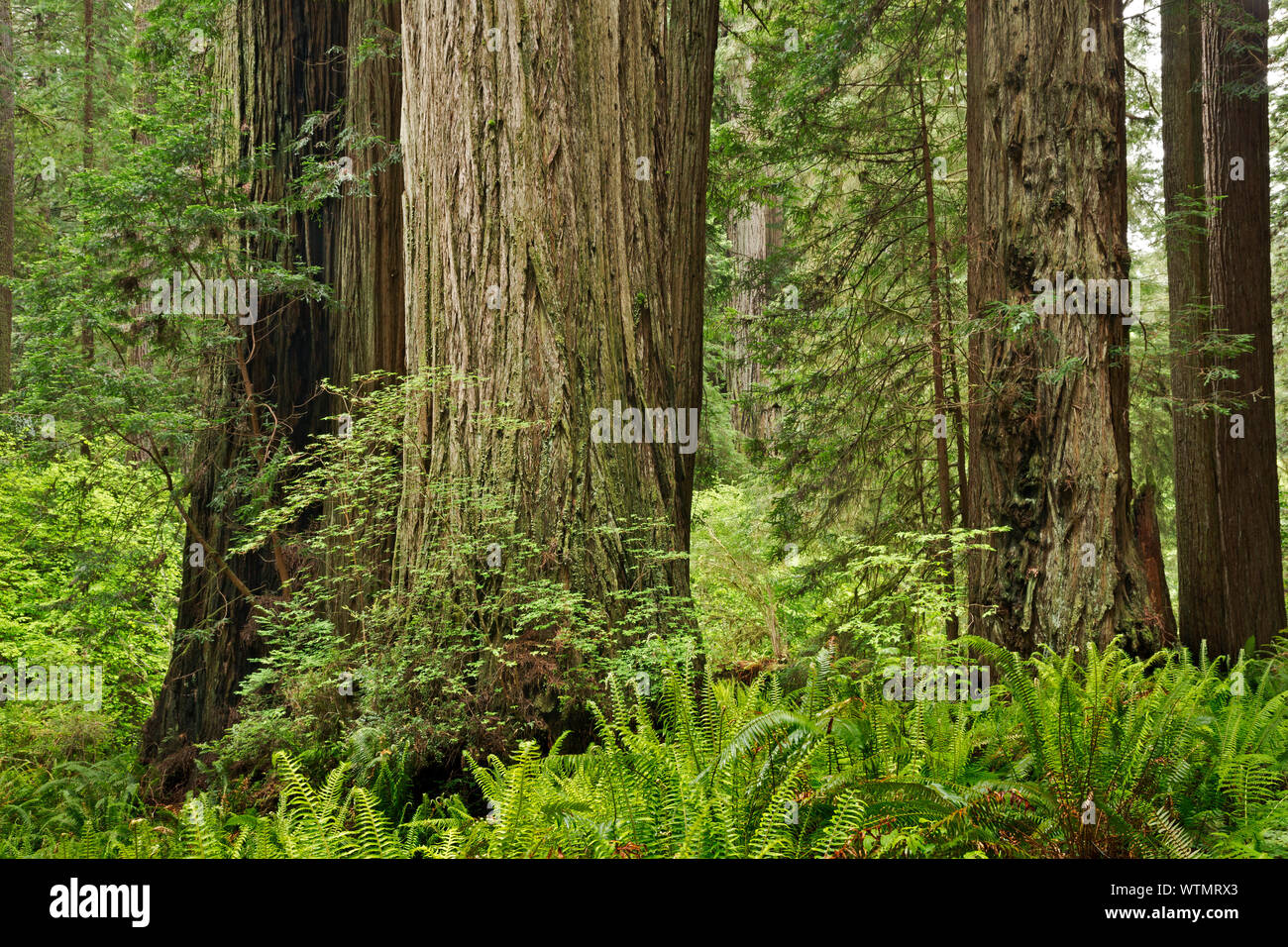 CA03541-00...CALIFORNIA - Redwood forest along the Prairie Creek Trail in Prairie Creek Redwoods State Park; part of the Redwoods National and State P Stock Photo