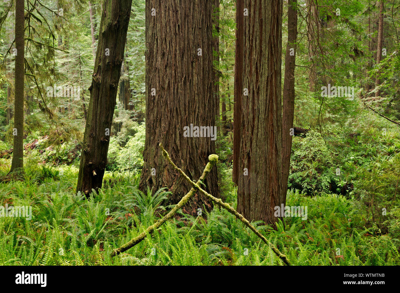 CA03544-00...CALIFORNIA - Redwood forest along the Prairie Creek Trail in Prairie Creek Redwoods State Park; part of the Redwoods National and State P Stock Photo