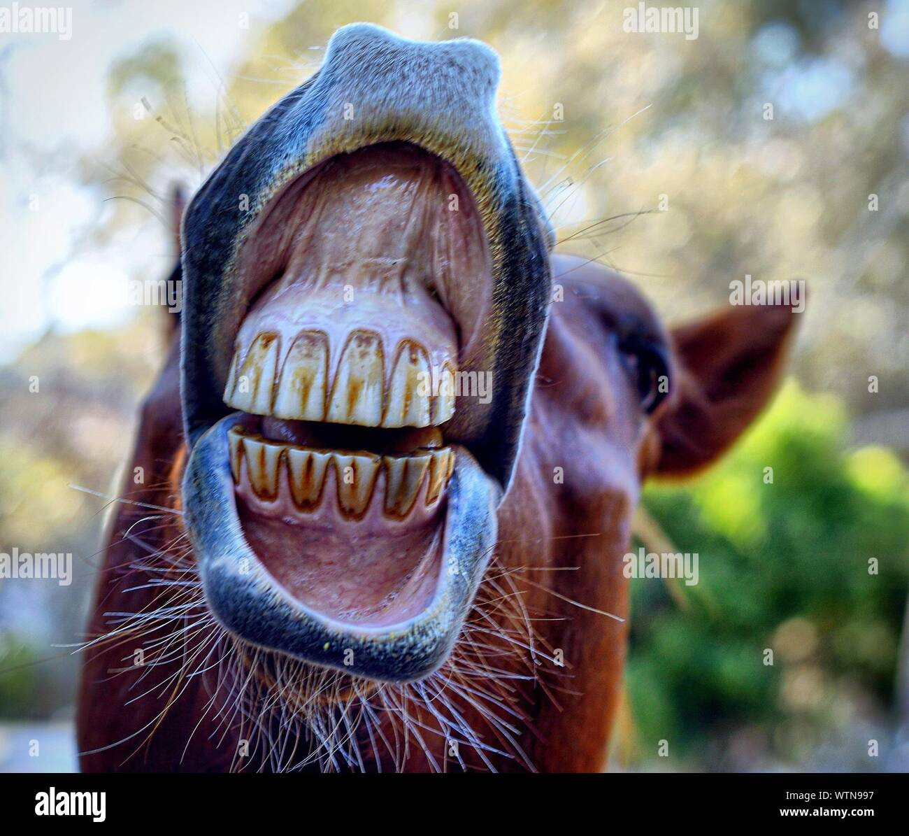 Horse Teeth High Resolution Stock Photography And Images Alamy
